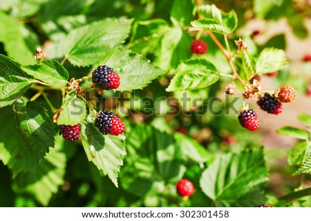 Fresh blackberries ripen in garden or on farm - stock photo