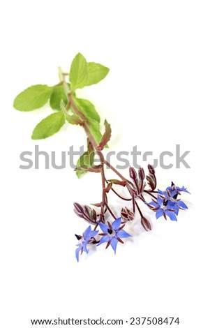 fresh blue Borage on a light background - stock photo