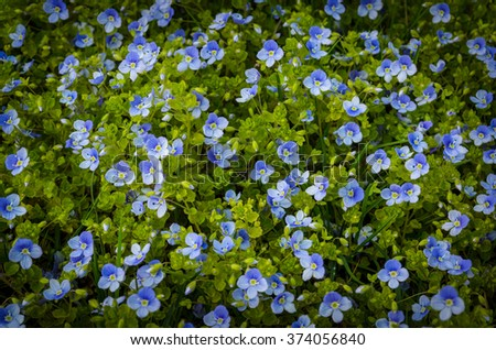 fresh blue forget-me-not flowers - stock photo