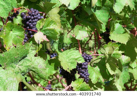 Fresh blue grapes in a vineyard - stock photo