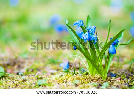 fresh blue spring flowers on meadow - stock photo