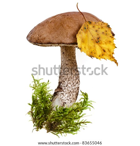 fresh boletus mushroom in a green moss  isolated  on white background - stock photo