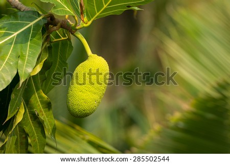 Fresh Breadfruit on a tree in Thailand