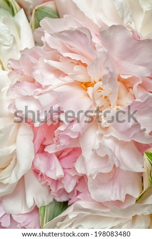 fresh bright blooming peonies flowers with dew drops on petals - stock photo