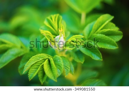 Fresh bright green leaves of wild rose  with soft focus and blurred background. Very shallow depth of field. Selective focus. - stock photo