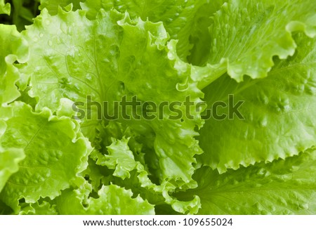 Fresh bright green lettuce salad closeup photo - stock photo