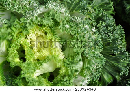 Fresh bright green lettuce salad closeup photo, Green vegetable - stock photo