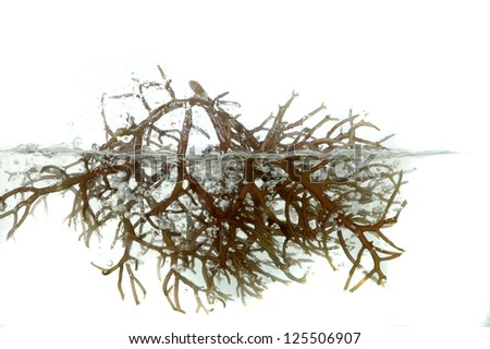 fresh brown seaweed in the water isolated on white background