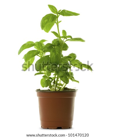 fresh bunch of basil into a brown pot, green leaves - stock photo