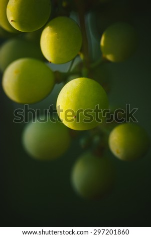 Fresh bunch of white grapes on the field - stock photo