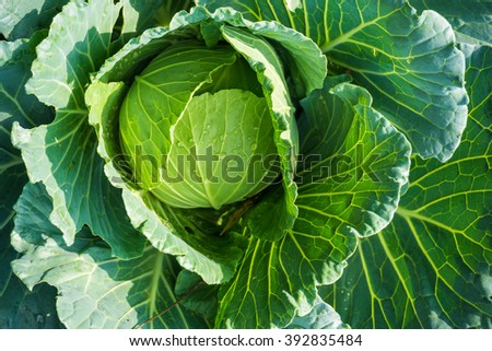 Fresh cabbage in the garden organic farming, Close up vegetable with drop