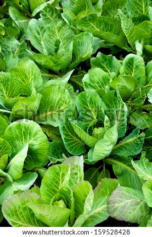 Fresh cabbage on the field - stock photo
