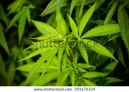Fresh cannabis (marijuana) foliage - stock photo