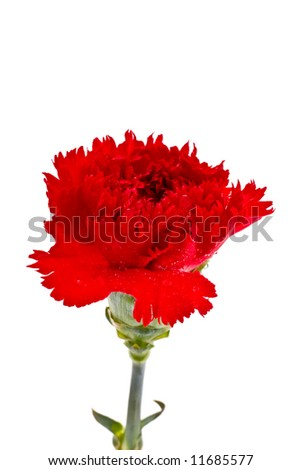 Fresh carnation in drops of water on a white background