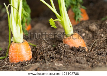 Fresh carrots in her bush about to be harvested - stock photo