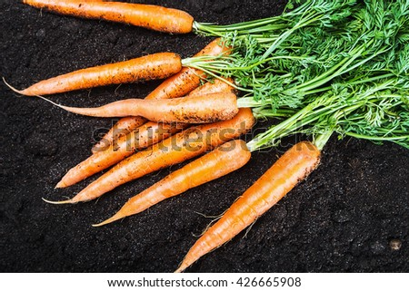 Fresh carrots in vegetable garden or a field in nature - stock photo