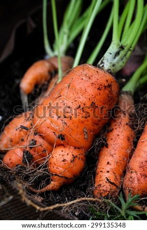 Fresh carrots pulled - stock photo