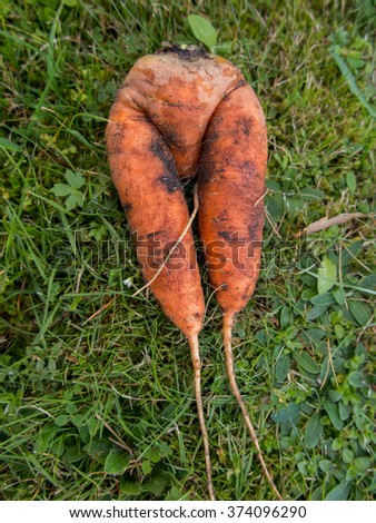 Fresh carrots with an unusual shape lying on the grass out of the ground - stock photo
