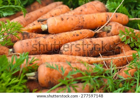 Fresh carrots with tops from the garden. Harvesting. - stock photo