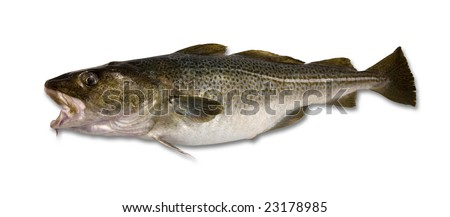 Fresh caught Cod isolated on a white background - stock photo