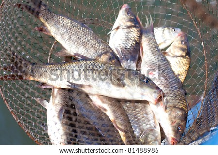 fresh caught fish in cages in the sun shimmering scales. Carps - stock photo