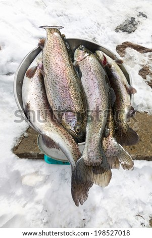 Fresh caught Rainbow Trout (Oncorhynchus mykiss) lies on the weighing scale  - stock photo