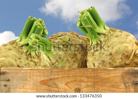 fresh celery roots with some foliage in a wooden crate - stock photo