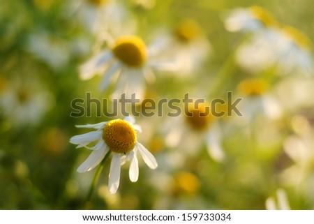 Fresh chamomile  - stock photo