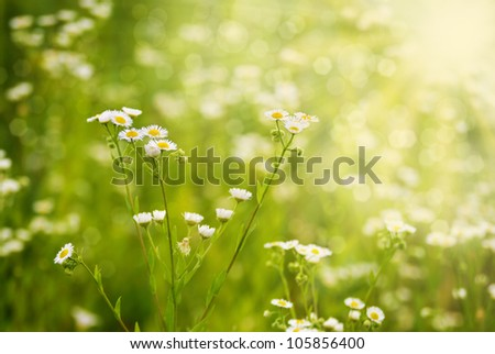 Fresh chamomile flowers on the green background - stock photo