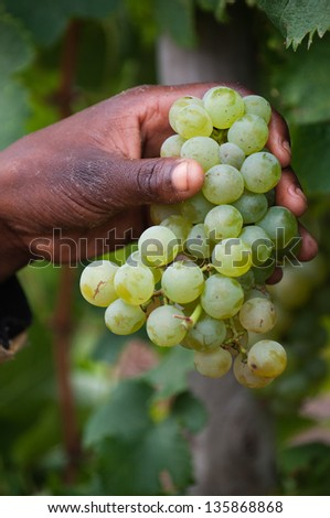 Fresh Chardonnay grapes i on a person's hand. Shallow depth of field. - stock photo