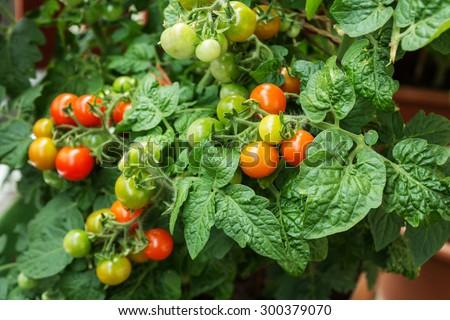 fresh cherry tomatoes plants - stock photo