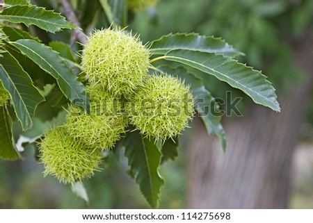 Fresh Chestnuts tree and green leaves. - stock photo