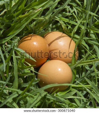 fresh Chicken eggs in the grass close up