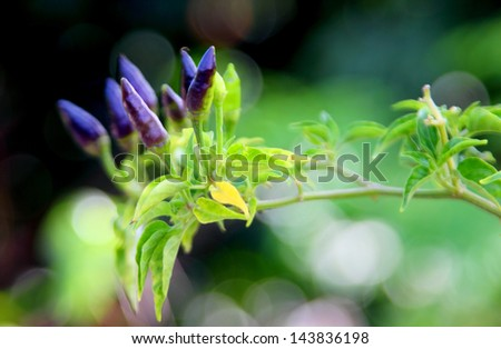 Fresh chilies on plant - stock photo