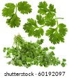 Fresh cilantro coriander leaves set close up isolated on white background - stock photo