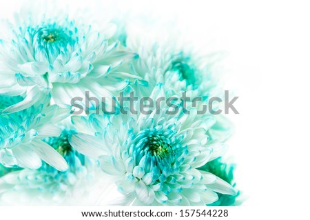 Fresh Cluster Vibrant Aqua Dahlia Flowers - stock photo