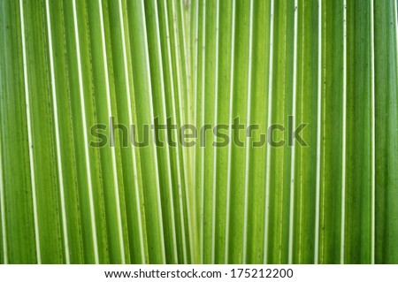 fresh coconut leaf - stock photo