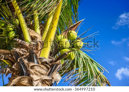 Fresh Coconut on Coconut Tree, Green Coconut, Yellow Coconut - stock photo
