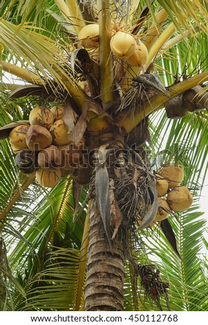 fresh coconut tree with the sky bright atmosphere in daylight, Coconut cluster on tree.