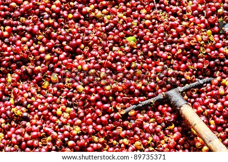 fresh coffee beans before roast with harrow - stock photo