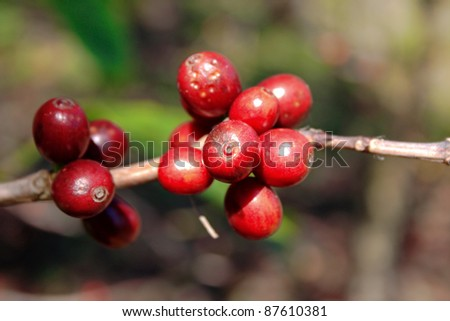Fresh coffee beans in the nature - stock photo