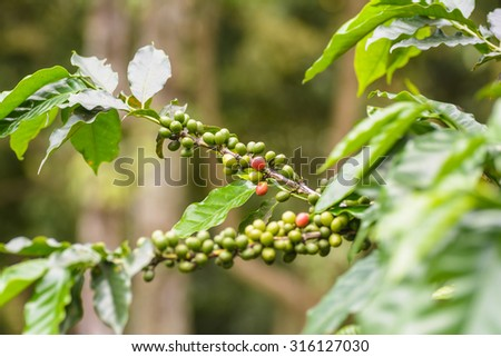 Fresh coffee beans on branch of coffee tree. - stock photo