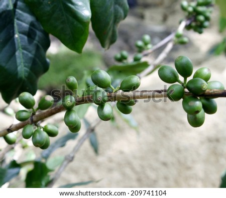 fresh coffee beans on coffee tree