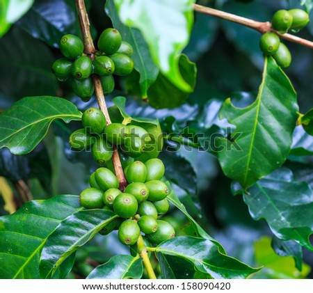 Fresh coffee beans or Coffee beans on tree in farm on tree at Doi Inthanon National park in Chiang Mai, Province Asia Thailand