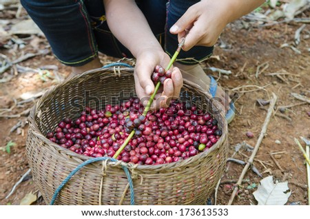 fresh coffee berries in hands