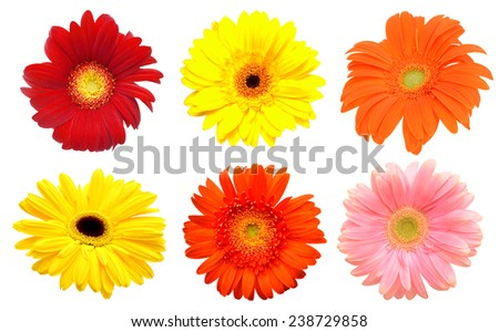 fresh color gerbera flowers isolated on white