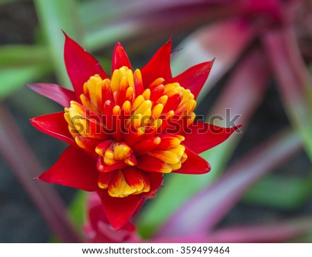 Fresh colorful Bromeliad blooming in garden.