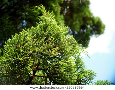 fresh colorful green leaves on pine tree from bottom view with green bokeh and bright summer blue sky background