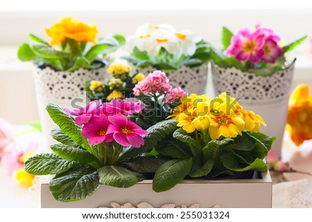 Fresh colorful primula flowers in pots - stock photo