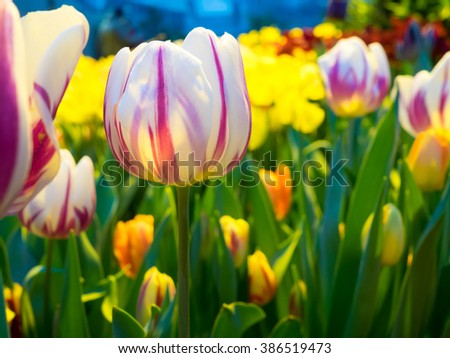 fresh colorful tulips in spring